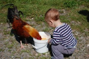 rooster feeder